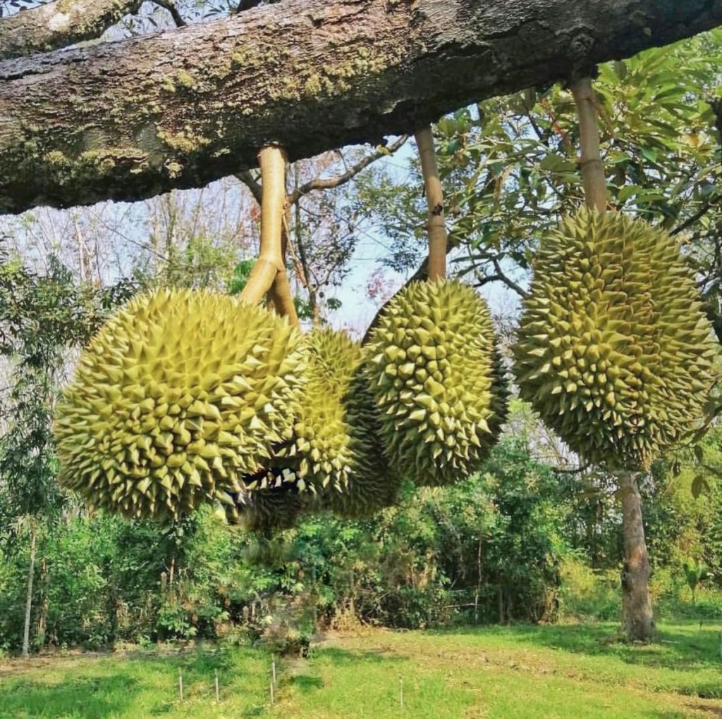 durian king of fruit singapore